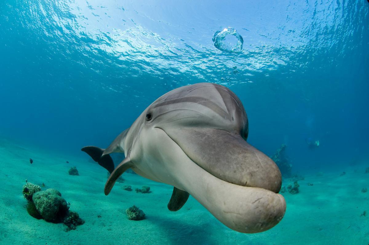 הדולפין