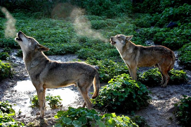 """""""יללת הזאבים""""."""