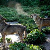 יללת הזאבים